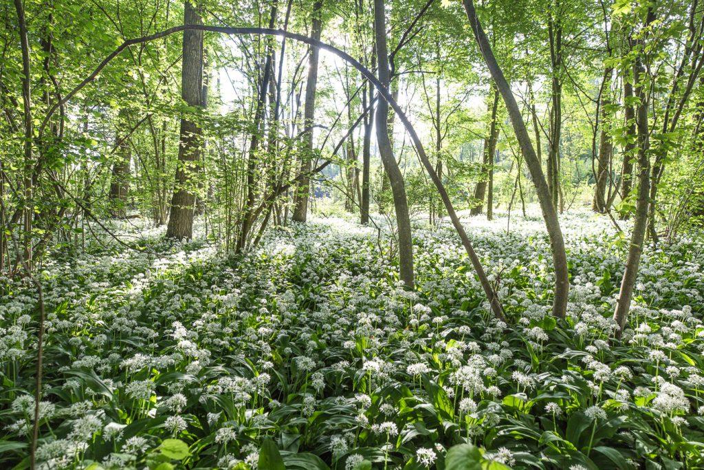 Sous-bois tapissé d'ail des ours en fleurs et éclairés par un soleil filtrant à travers les branchages symbolisant le projet de Pérégrinatures